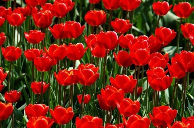 22 Tulips