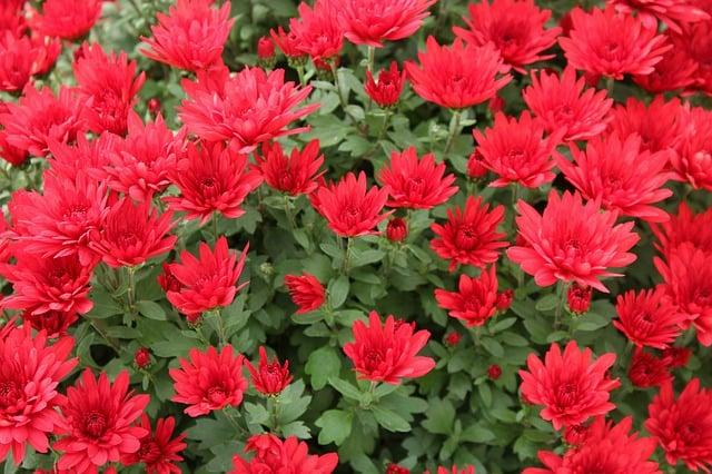 23 Chrysanthemums