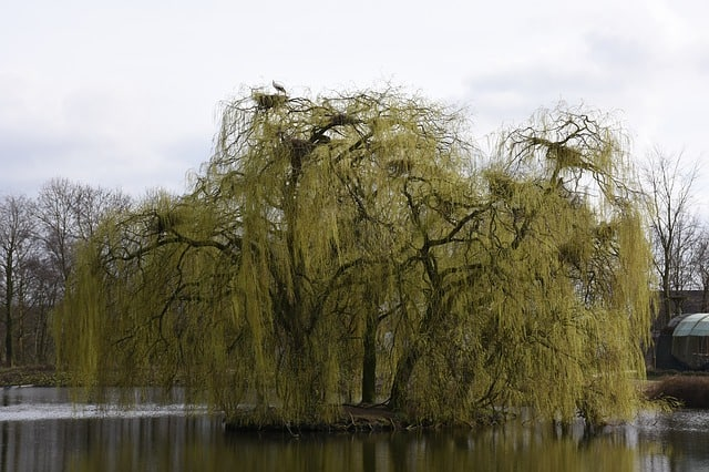 3 Weeping willows