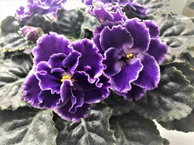 4 African violet
