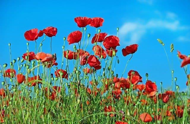 4 Poppy
