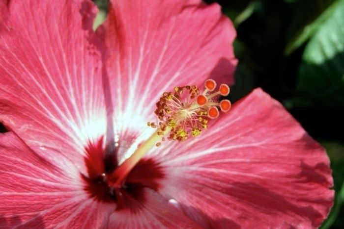 5. Hibiscus