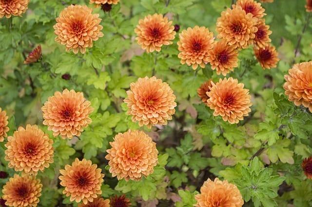 6 Chrysanthemum