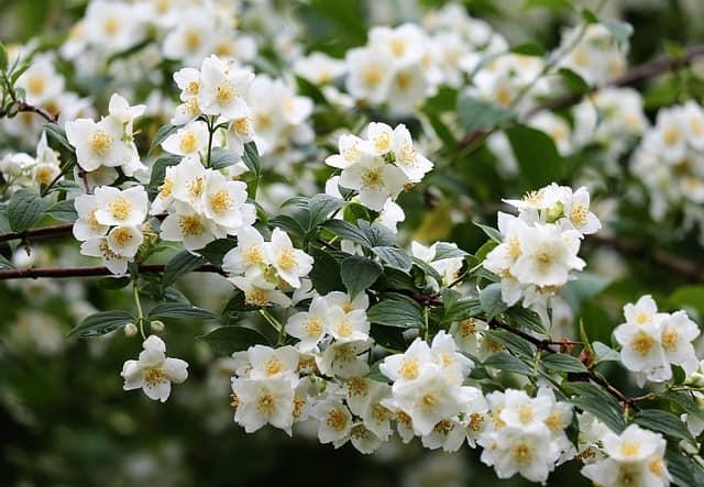 8 Jasmine