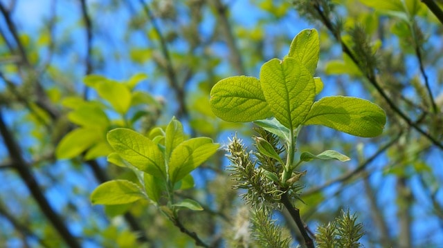 8 Peach willow foliage