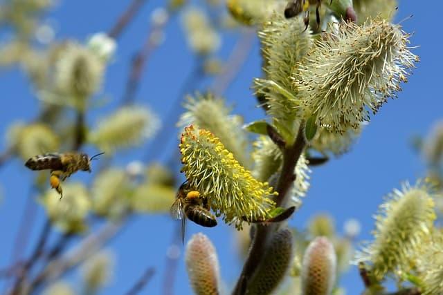 9 Catkins source of pollen