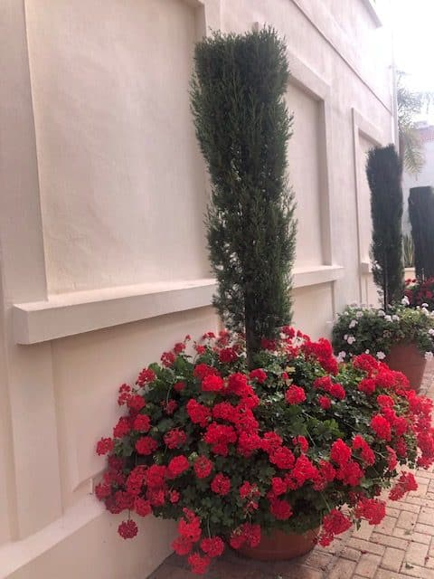 Cypress in terracotta with geraniums