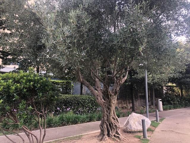 Gnarled Olive Tree