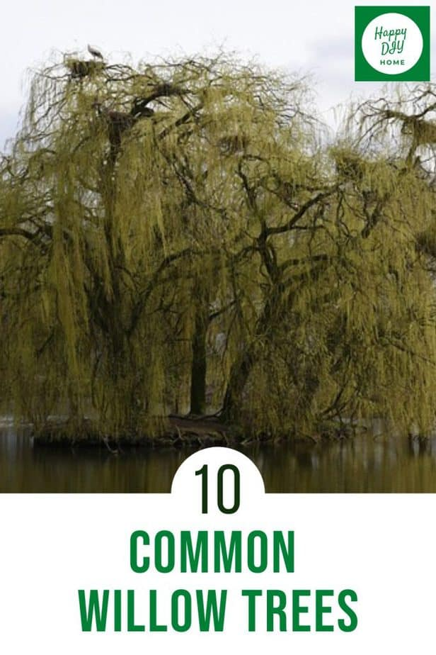 Willow trees 2