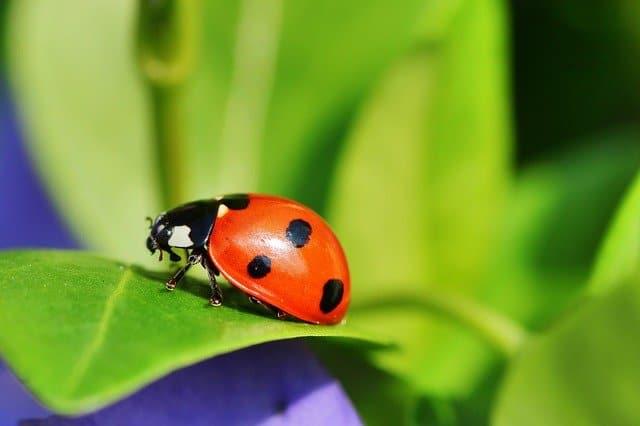 1 Beneficial ladybugs