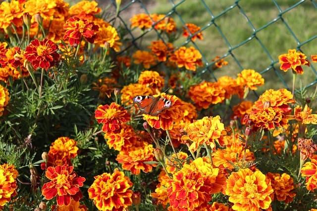 1 Bright marigolds