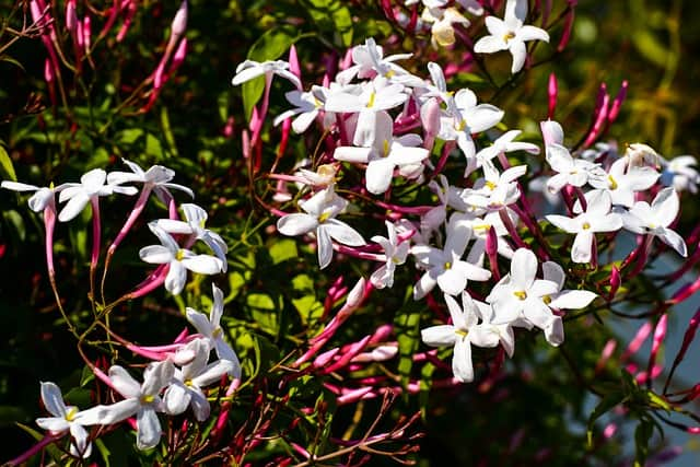 1 Jasminum polyanthum flowers