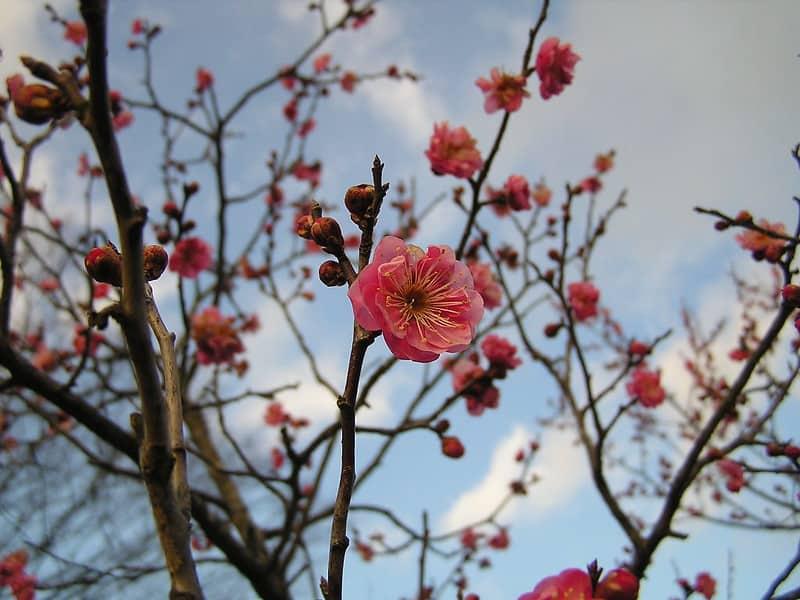 1 Plum Tree Blossom