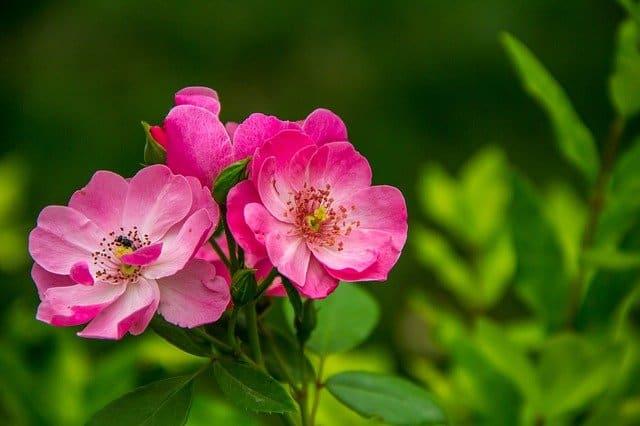 1. Roses