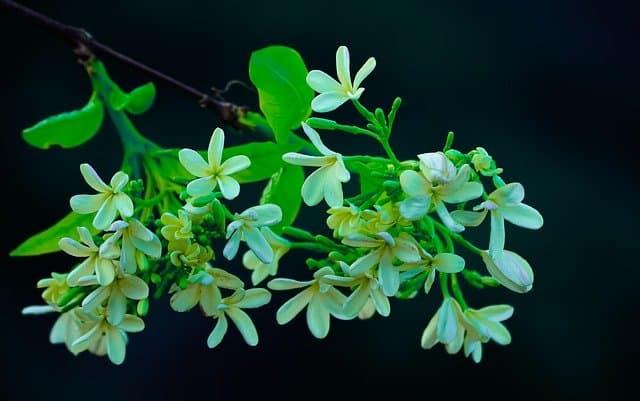 11 Jasmine flowers