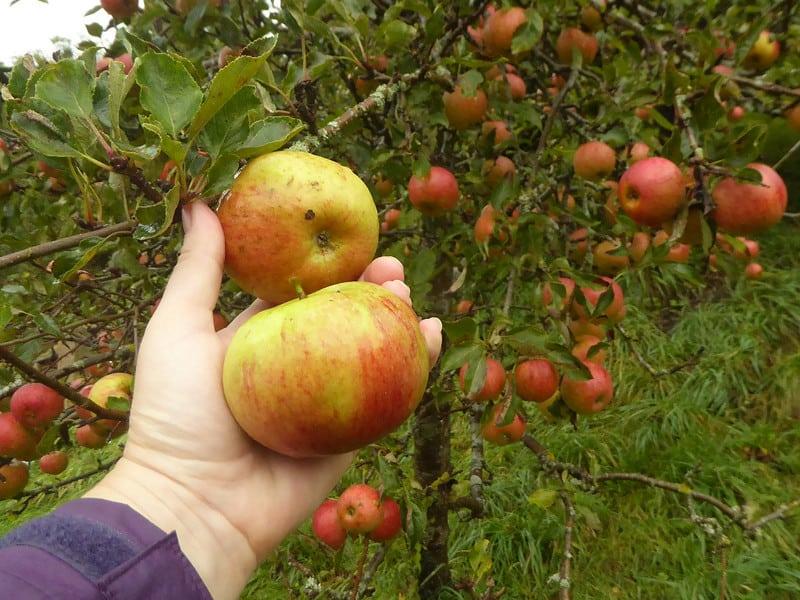 19 Plum Harvest