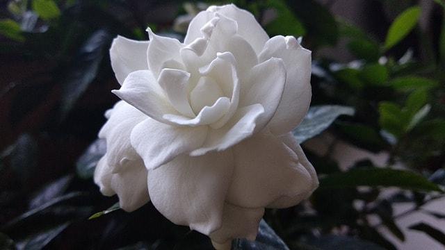 2 Cape Jasmine