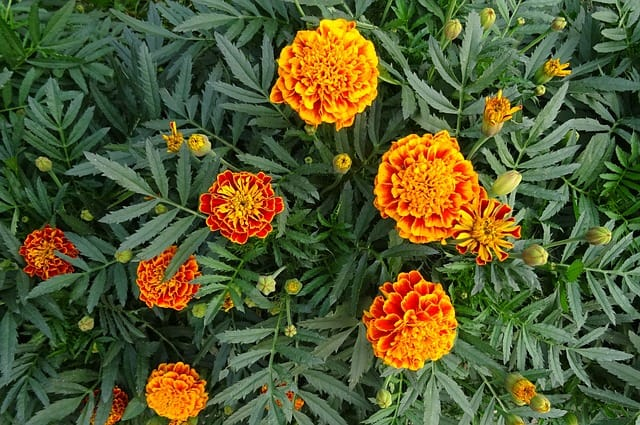 2 Frech marigolds