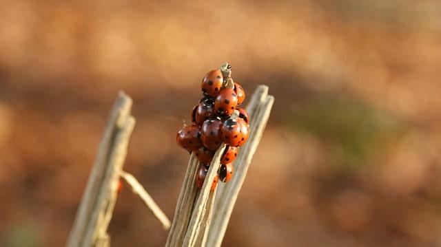2 Ladybugs shelter together