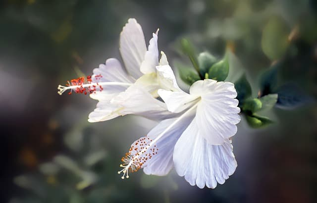 23 Hibiscus