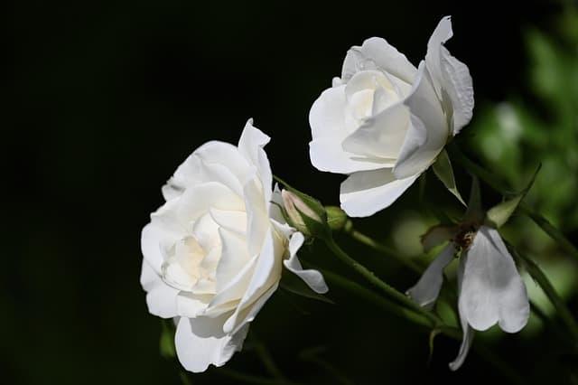 24 Rose