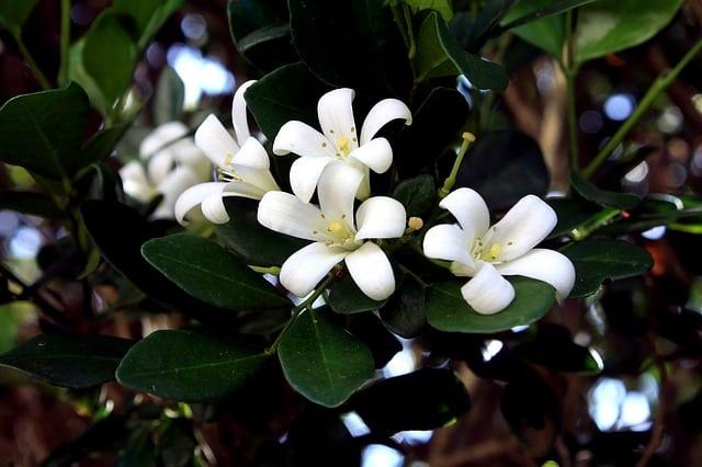3 Common Jasmine