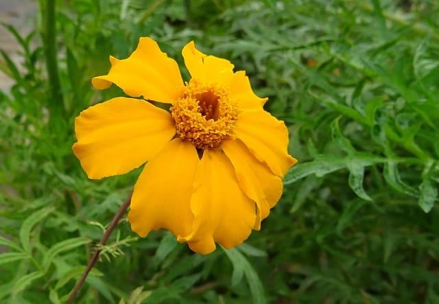 3 Signet marigold