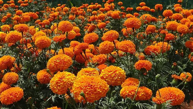 4 African marigolds