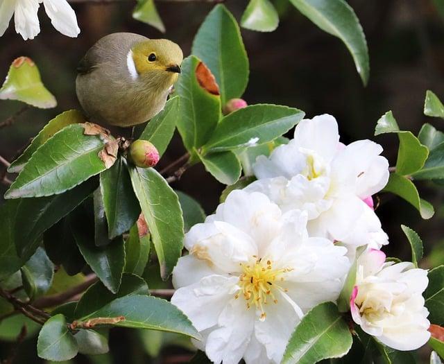 4 Camellia