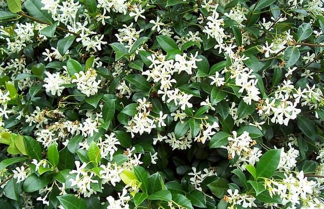 4 Jasminum Grandiflorum
