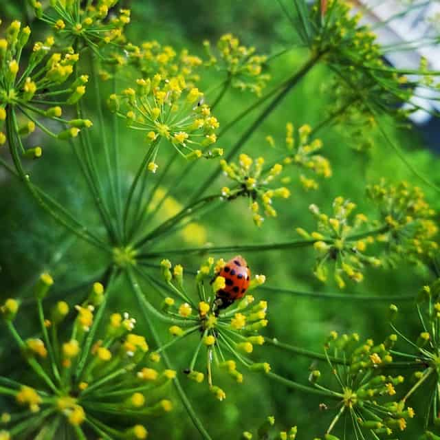 4 Ladybugs like dill
