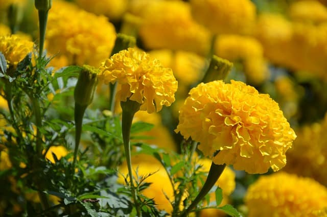 5 Beneficial marigold flowers