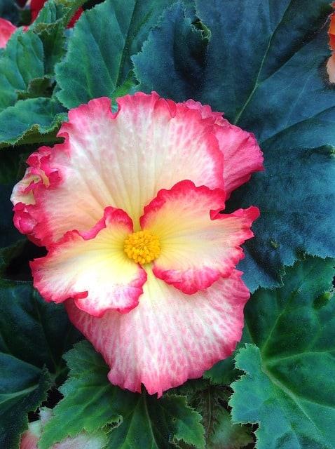 5 Large open flowers