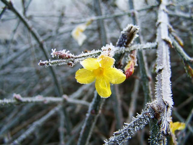 5 Winter Jasmine