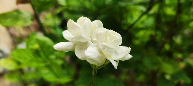 6 Arabian Jasmine