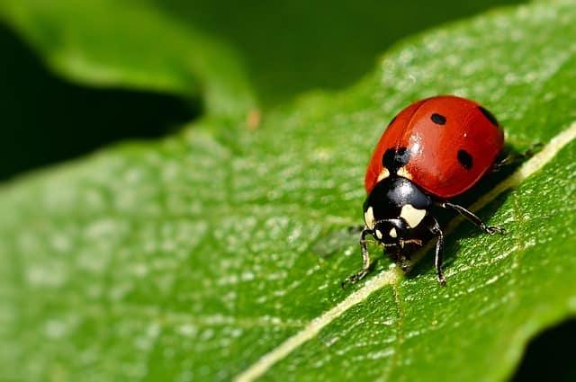 6 Seven spotted ladybug