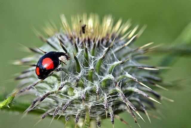 7 Halrequin ladybug