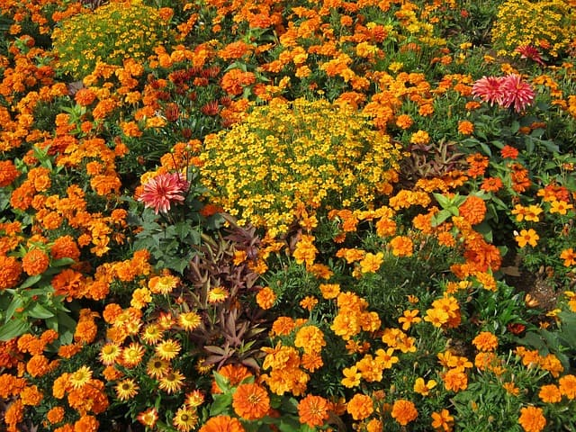 7 Types of marigolds