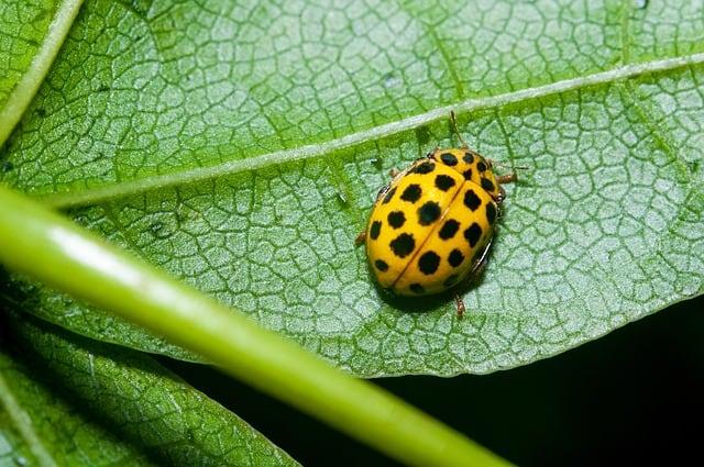 8 22 yellow spot ladybug