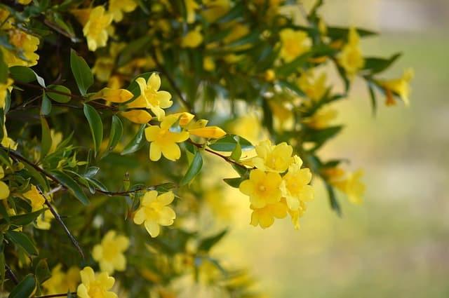 8 Yellow Jasmine