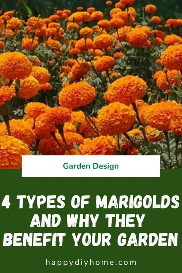 Types of Marigolds 1
