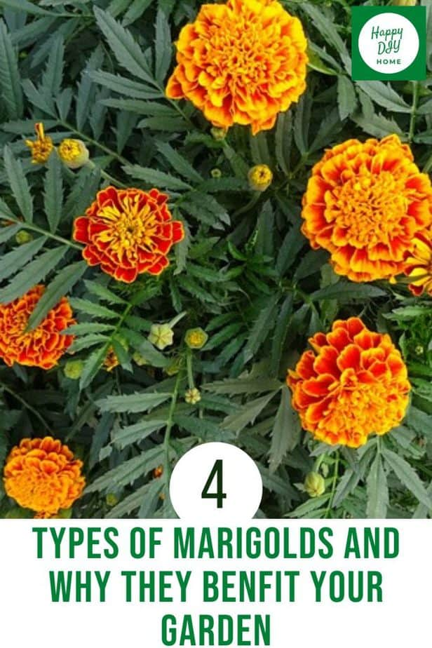 Types of Marigolds 2