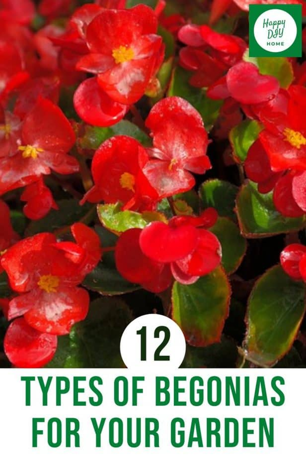 Types of begonias 2