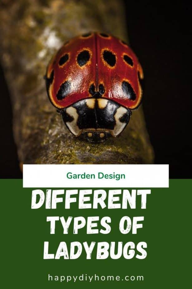 Types of ladybugs 1
