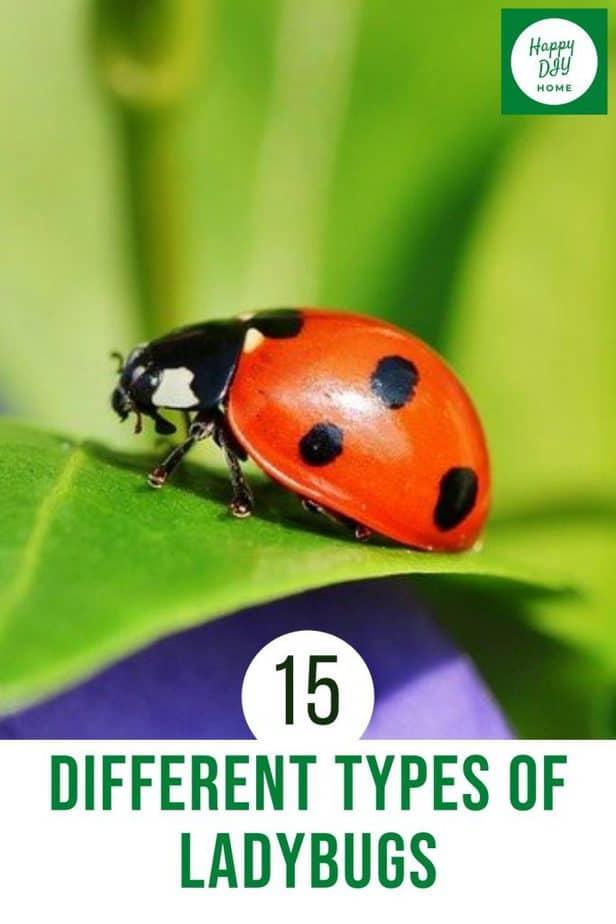 Types of ladybugs 2
